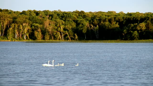 Family of Trumpeter Swans Swimming in a Forest Lake