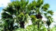 Fan Palms; TIME LAPSE