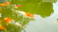 Fancy Carp fish swimming in pond