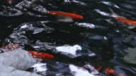 Fancy carps swimming in the pond