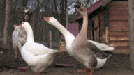 Farm Gooses