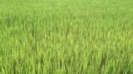 Farm-Reis