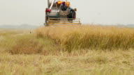 Farm worker harvesting rice with Combine machine