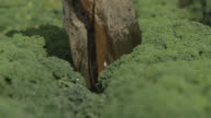 Farm worker walks through kale on vegetable farm, Devon, England
