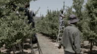 Farm workers climbing ladders and picking apples in orchard Piketberg is a small rural town in the Western Cape province of South Africa