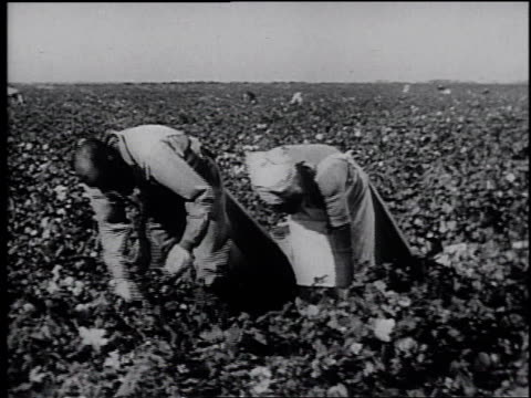 1945 REENACTMENT farm workers picking crops in a field / United States