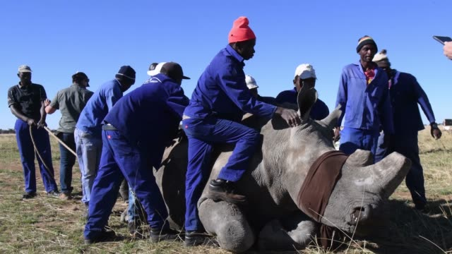 Farm workers stand with a sedated and blindfolded white rhino before it has it's horn trimmed at the ranch of rhino breeder John Hume on October 16...