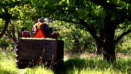 Farmer Apple Orchard