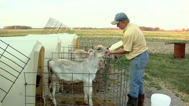 ZI, MS, Farmer bottle feeding young Brown Swiss (Bos, B. Taurus) calves, St. Marys, Ohio, USA