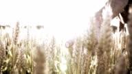 HD SUPER SLOW MO: Farmer Caressing The Wheat