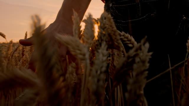 SLO MO Farmer Caressing The Wheat