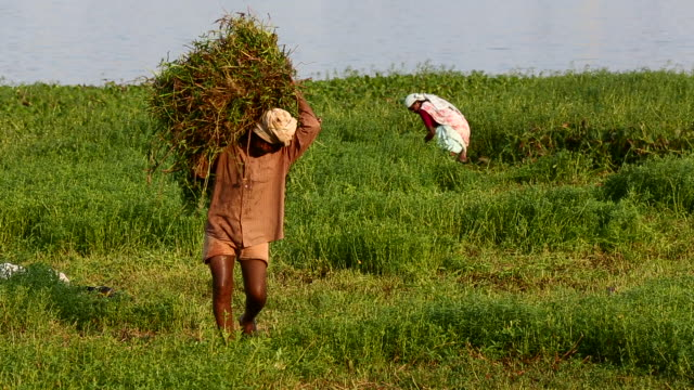 Farmer carrying crops in a field in India 2