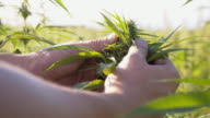 DS Farmer checking a hemp plant in the field