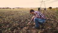 DS Landwirt Überprüfung Mais Pflanzen auf dem Feld