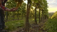 Farmer checking ripeness of the grape