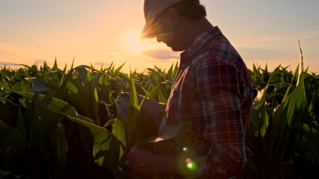 MS Farmer Checking The Corn Plants