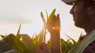 MS Landwirt Überprüfung der Mais Pflanzen