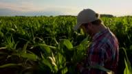 MS CS Landwirt Überprüfung der Mais Pflanzen