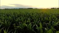 AERIAL Landwirt Überprüfung der Mais Pflanzen