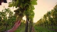 DS Farmer checking the grape in vineyard