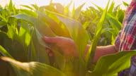 CU Farmer Checking The Harvest
