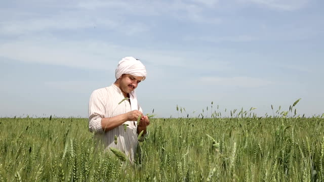 Farmer checking wheat crops, Haryana, India