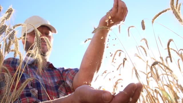 SLO MO Farmer Checking Wheat Grains
