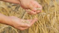 Farmer checking wheat seeds close up shot
