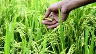 Farmer checks rice kernels before harvesting