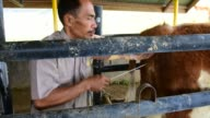 A farmer conducts artificial insemination for cow at cattle breeding farm in Mengatas West Sumatra Indonesia on Thursday July 14 2016 Shots pan left...