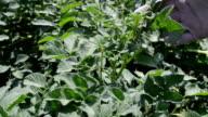Farmer controlling growth of potato plants.