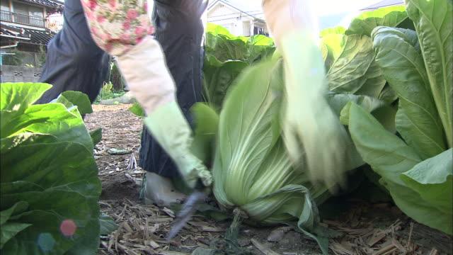 A farmer cuts and picks Hiroshima-na cabbages near Asaminami, Japan.