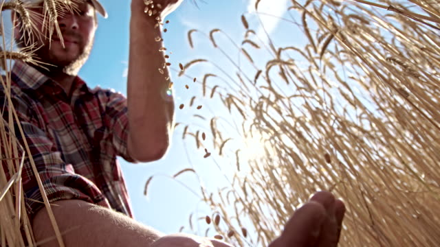 MS LA agricoltore caduta di cereali di grano