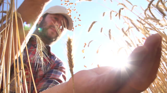 SLO MO Farmer Dropping Wheat Grains