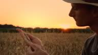 HD: Farmer Examining The Wheat At Dusk