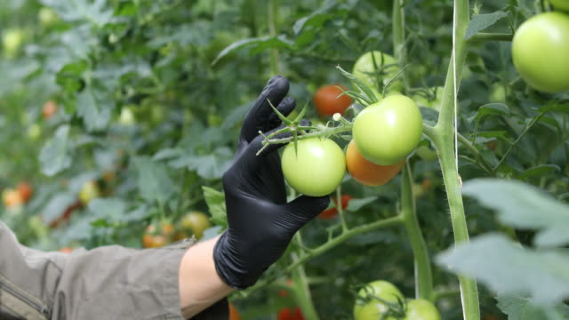 Farmer examining unripe tomatoes in greenhouse.