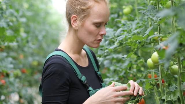 Farmer examining unripe tomatoes in greenhouse