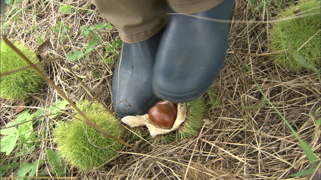 Farmer gathers chestnuts, breaking burs with feet and filling bucket