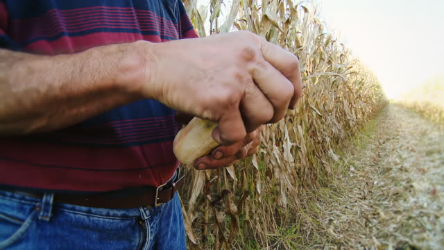HD: Farmer Hands Peeling Corncobs