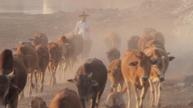 WS farmer herding cows / Vientiane, Laos