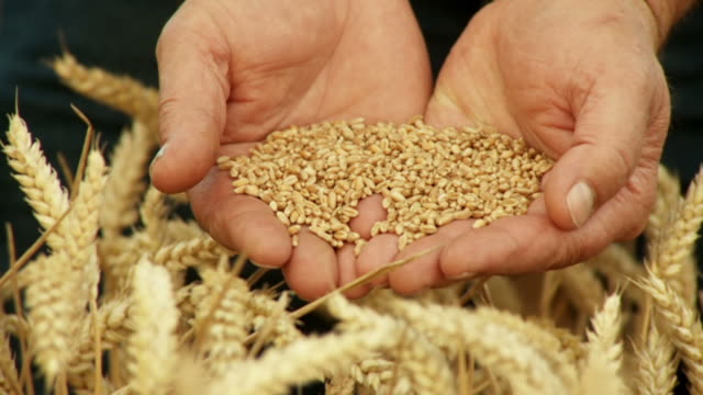 HD SLOW-MOTION: Farmer Holding Wheat Grains