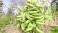 Farmer man carrying bananas on his back. He walks along the banana field. Rich harvest in Latin America.
