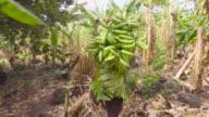 Farmer man carrying bananas on his back. Rich harvest. He walks along a banana field in Latin America.