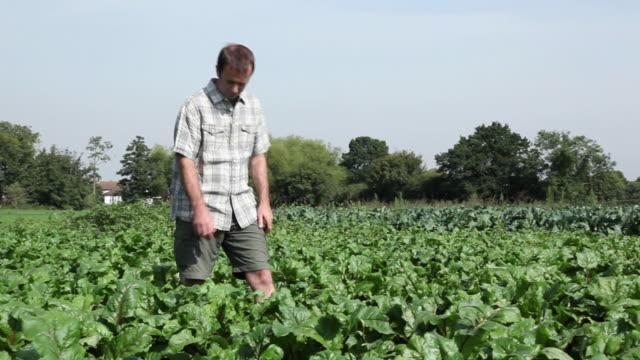 Farmer picking fresh beetroot in field