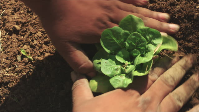Farmer planting seedling in a vegetable urban garden. Close up of the hands taking care of the plant in the soil.