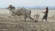 MS TS Farmer plowing with white bullocks on banks of Ayeyarwadi river / Bagan, Mandalay Division, Myanmar