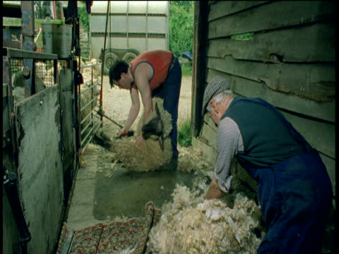 Farmer rolls up a shorn fleece whilst sheep is being sheared in background