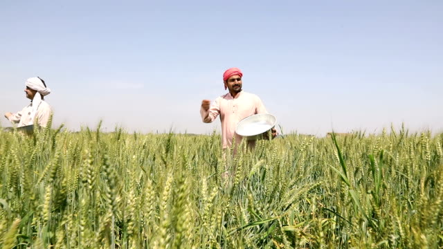 Farmer spraying insecticides in the crops, Haryana, India