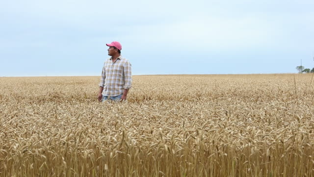 WS DS Farmer Standing in Field of Wheat, Looking Off into Distance / Oyster, Virginia, USA