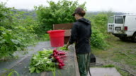 MS PAN farmer standing washing organic radishes on screened workbench outdoors preparing box for community supported agriculture delivery